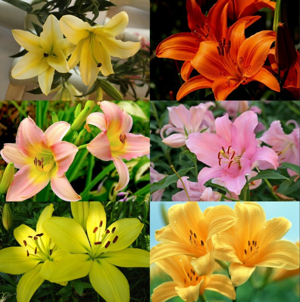 24 Colors New Lily Plants indoor bonsai perfume lily Z