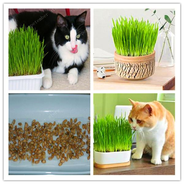 1000 Pcs Cat Grass Plant Herb Edible Lemongrass Kitchen Vegetable Bonsai Medicinal Use Graines Legumes Potager DIY Home Garden