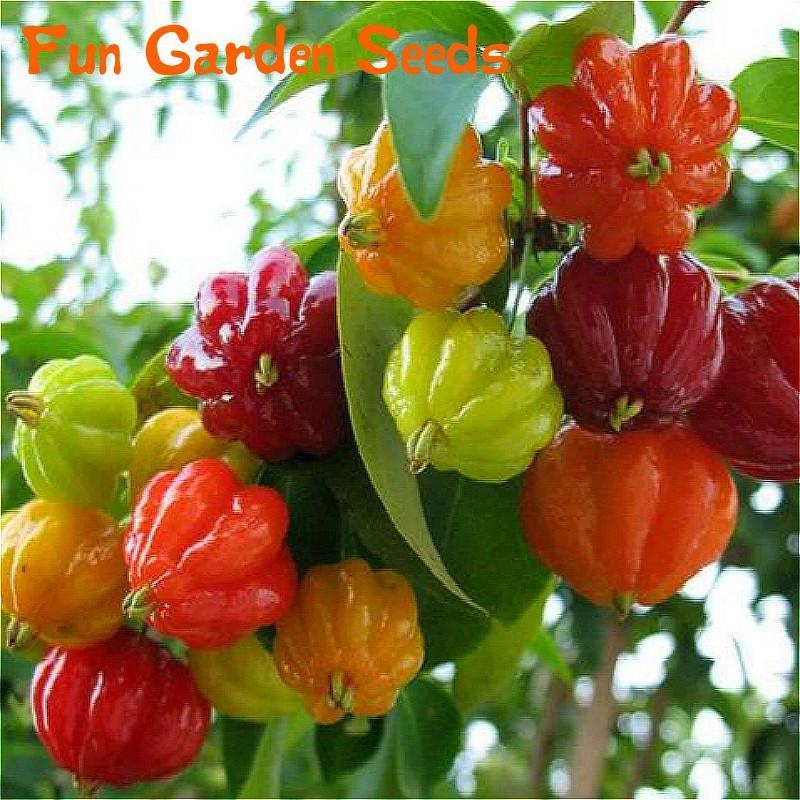 sale 20 pcs asian rare kawaii cherry seeds fruit cherry dwarf fruit trees flower seed