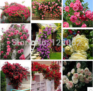 Rosa,Climbing Plants , Polyantha rose, Chinese Flower Seeds ,Climbing Roses Seeds , 200  ...