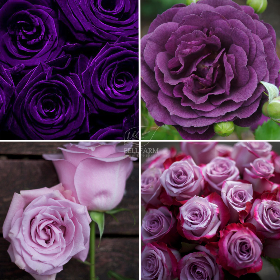 Aliexpress Buy Bellfarm Bonsai Rose Purple Series Double