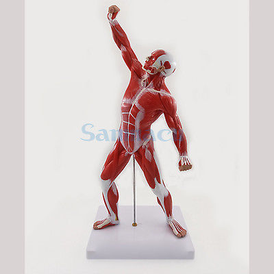 Human Skeleton and Muscle System Anatomy Biology Teaching Medical Model Male Exercise Muscle