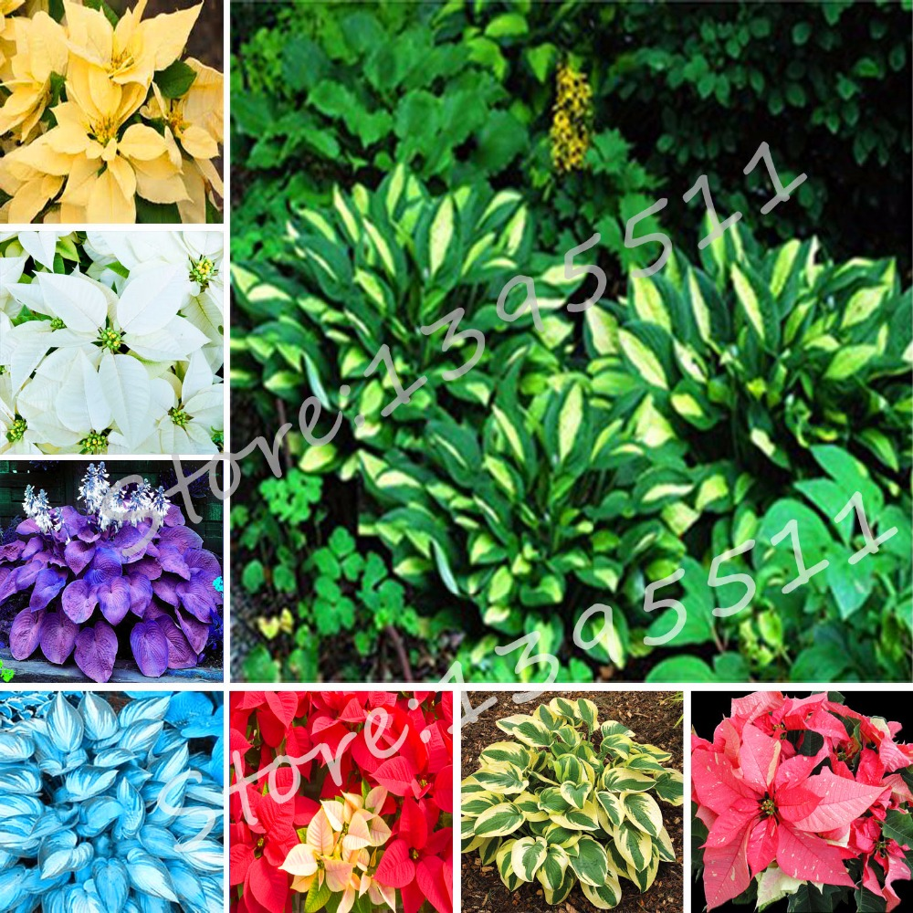 Online Shop 1bag100pcs Hosta Seeds Perennials Plantain Lily Flower