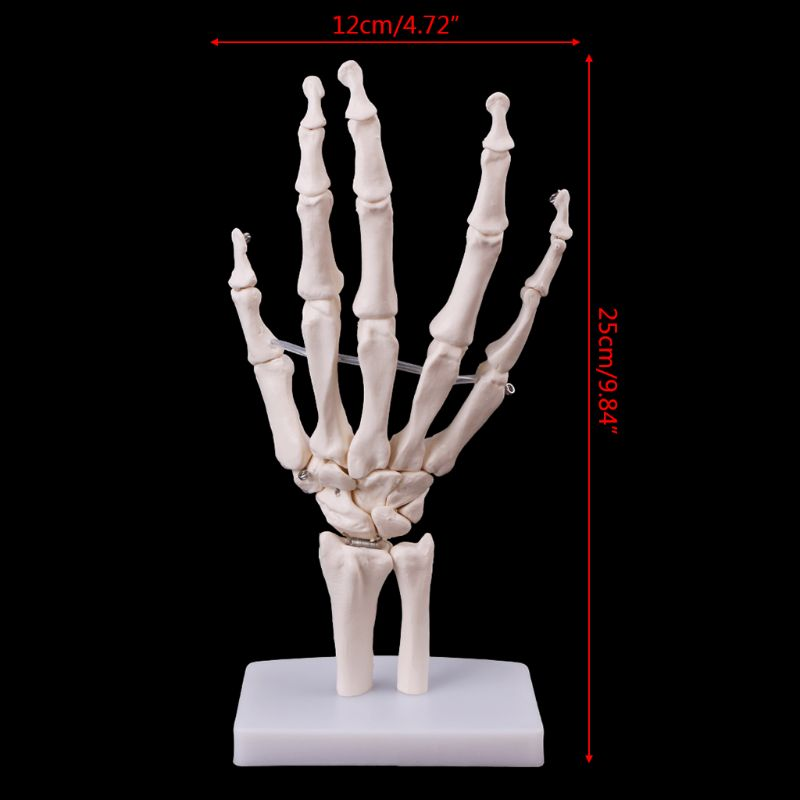 Human Hand Joint Model Anatomical Skeleton Model Human Medical Anatomy Study Tool Life Size 12 x 25cm