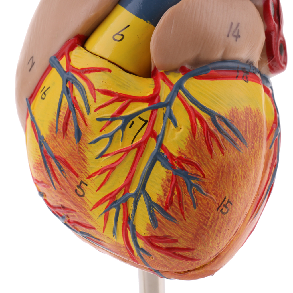 1:1 Human Anatomical Emulational Heart Anatomy Viscera Medical Organ ...
