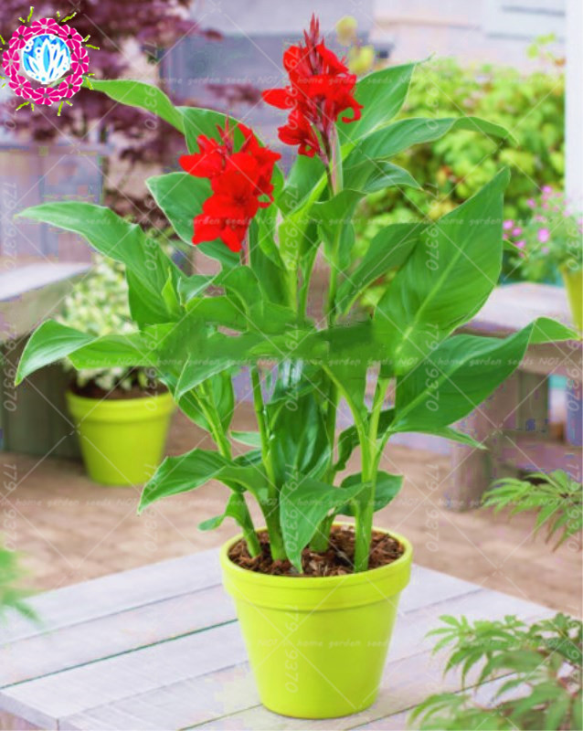 11.11New varieties 5pcs true% Canna indica bonsai seeds.Perennial tropical outdoor Big leaves flower plant seeds for home garden