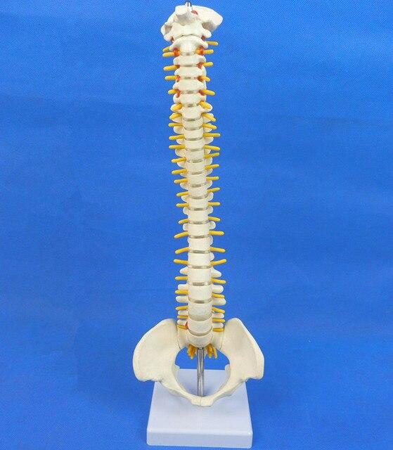 Menschlicher schädel anatomie skeleton anatomischen gum wirbelsäule knochen modell 45 cm spaß medische ausbildung huid esqueleto humano anatomia ...