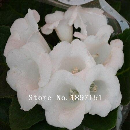 Big sale 100pcs Mirage & Dream Flower seeds Gloxinia Se