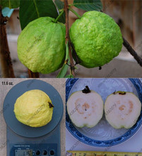 30 Pcs Large White Guava sweet fragrance fruit,Edible Fruit Bonsai Tree