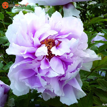 Shallow Purple Chiese Peony Flower Seeds Potted Flowers Bonsai Plant Seeds for Home Garden 10 particles / lot