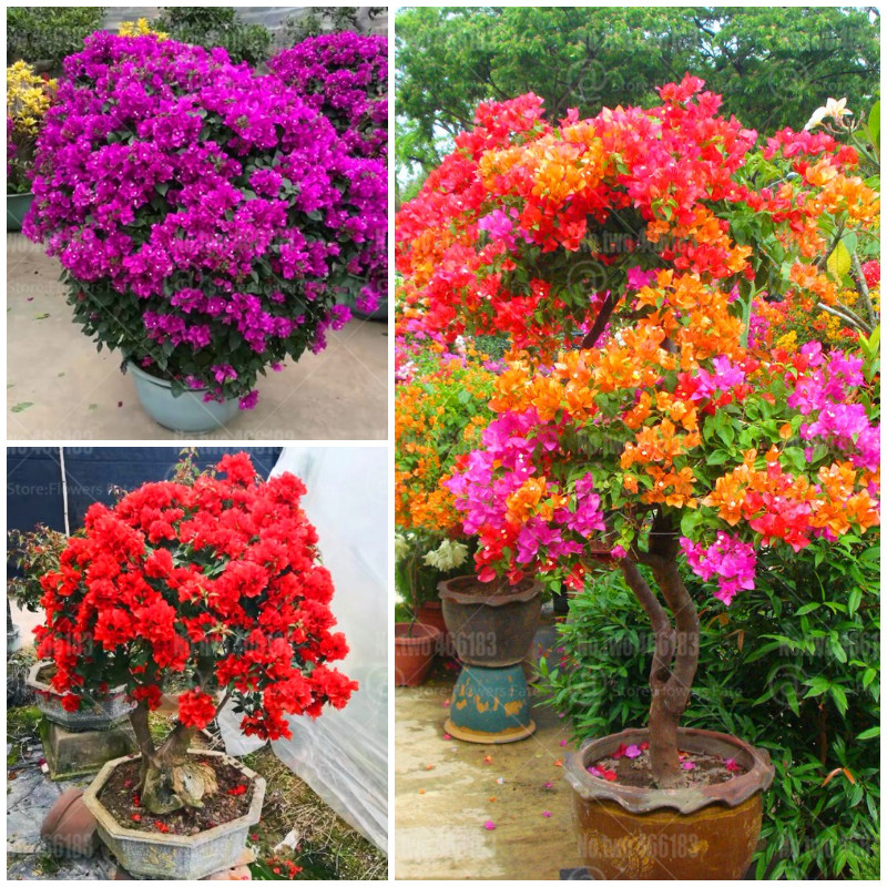 100pcs bougainvillea bonsai bougainvillea glabra flower bonsai perennial indoor flowering potted