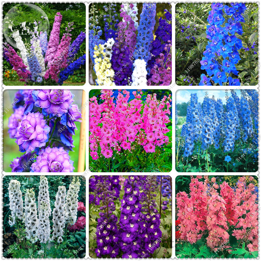 200 pcsbag different types of delphinium perennial beautiful 200 pcsbag different types of delphinium perennial beautiful flowers seedsbonsai plant home garden in bonsai from home garden on aliexpress izmirmasajfo