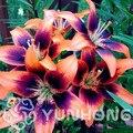 Venta caliente verdadera lirio bonsai 24 colores (planta de lirio), flor Lilium planta, olor débil, planta de Bonsai para el hogar gGarden-50 piezas