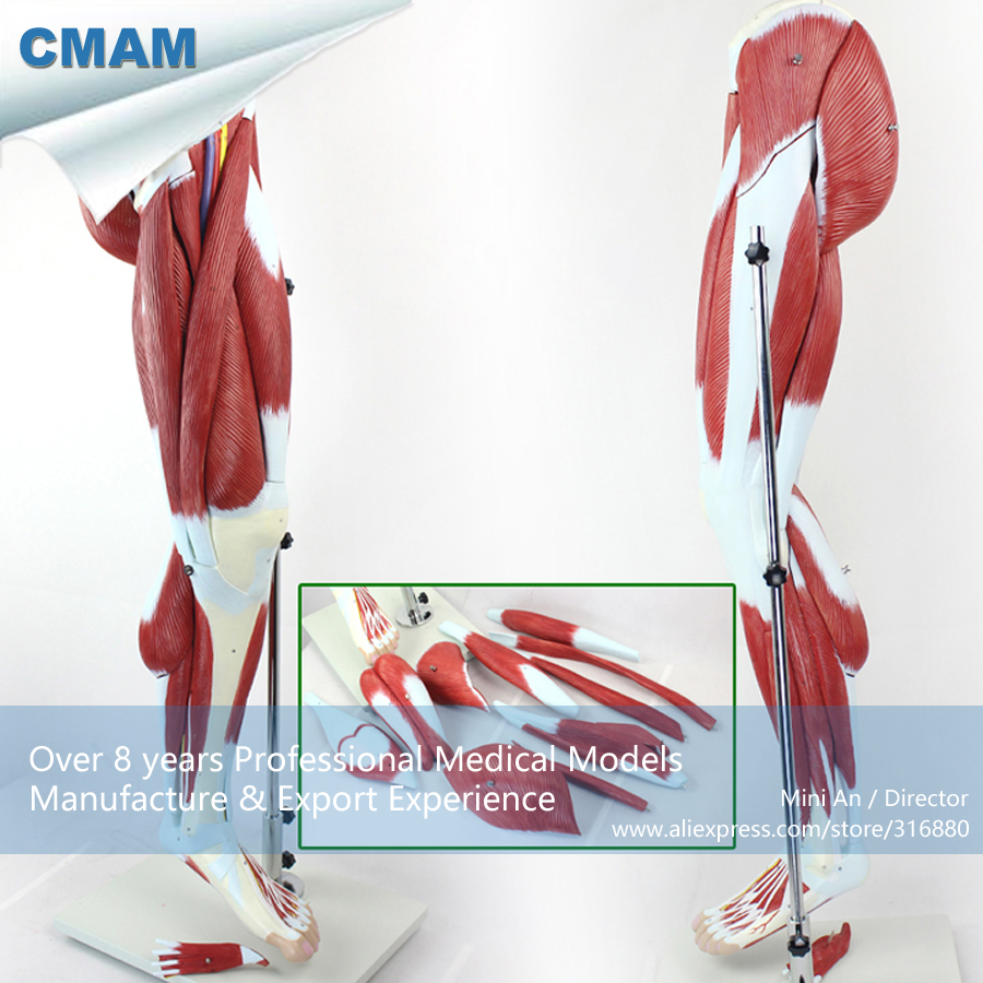 12026 CMAM-MUSCLE04 13 Parts Muscles of Leg with Main Vessels and Nerves (Anatomical Model) цены