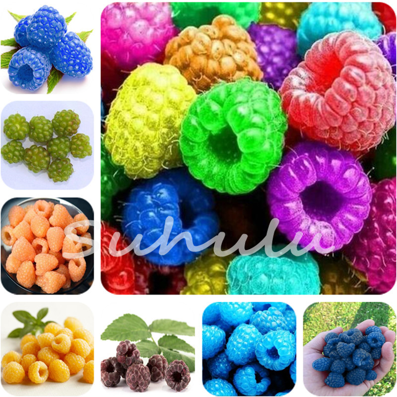 1000 Pcs Rainbow Raspberry Seeds Sweet Juicy Fruit Seeds Bonsai Plants  Seeds For Home Garden Planting