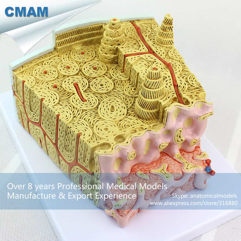 12356 CMAM-JOINT09 Microscopic Anatomical Bone Marrow Structure Model, Medical Science Educational Teaching Anatomical Models shunzaor dog ear lesion anatomical model animal model animal veterinary science medical teaching aids medical research model