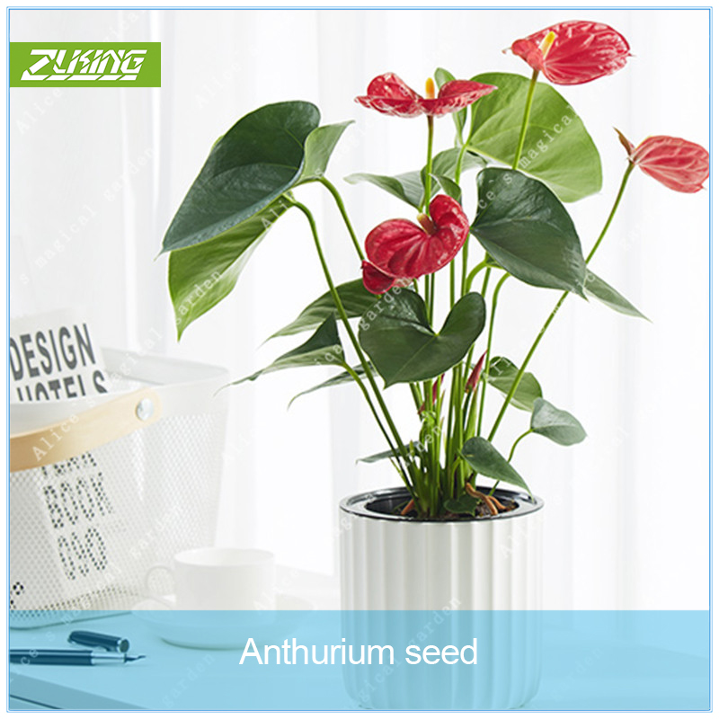 Indoor Evergreen Trees: ZLKING 100pcs Red Anthurium Bonsai Indoor Ornamental