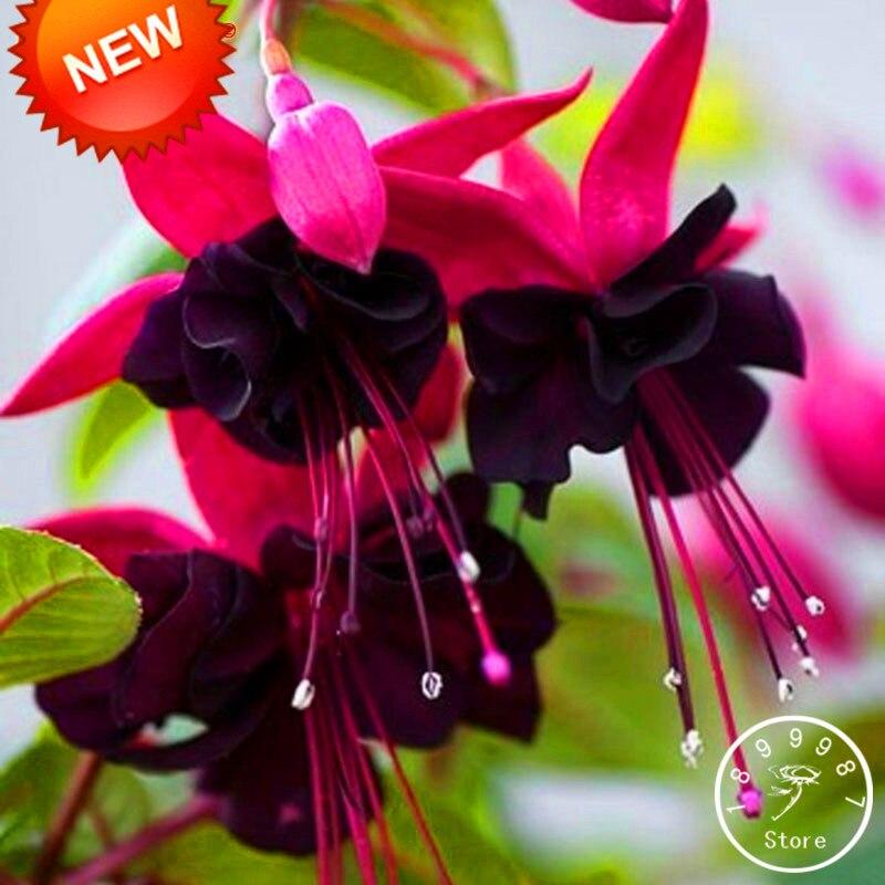 Где можно купить цветы и семена фуксии доставка свадебных цветов