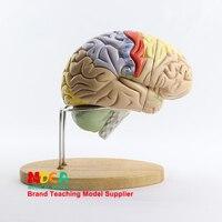 Zwei falten Gehirn Montage Gehirn Anatomie Menschliche Gehirn Modell Medizinische Lehre MDN002-in Medizinische Wissenschaft aus Büro- und Schulmaterial bei