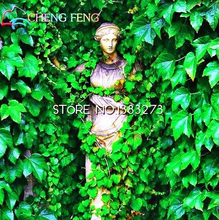 100 pz Vero Edera bonsai Rampicanti Esterni Verde Edera Parthenocissus Tricuspidata bonsais Piante Rampicanti UN Muro Asso Bons Decorazione