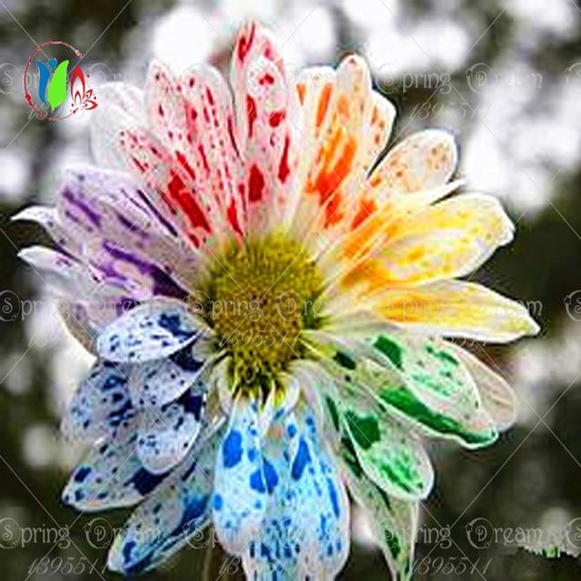 Buy 100pcs bag rare rainbow daisy flower for Rainbow flower seeds