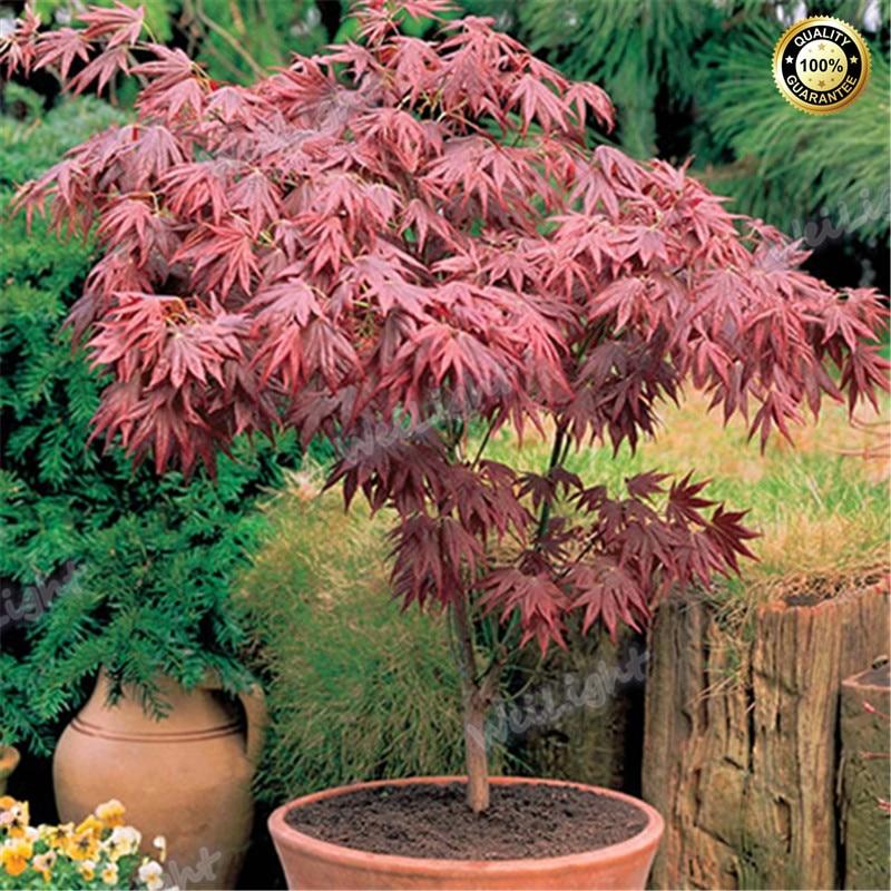 100% True Japanese Red Maple Bonsai Tree Cheap Seeds, X