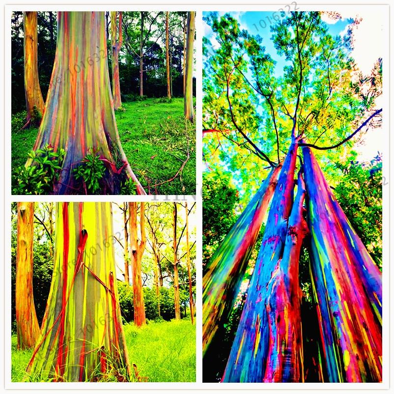 100pcs/bag Hawaii Rainbow Eucalyptus Tree,100% Genuine Beautiful Ornamental Tree,easy To Grow