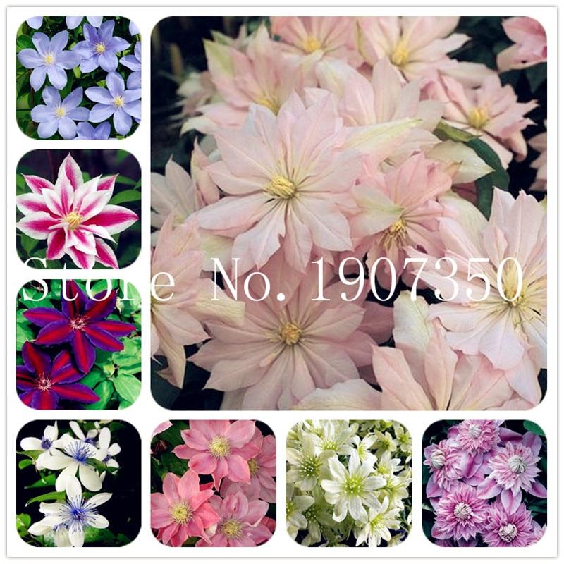 Hot Selling 100 Pcs Rare Clematis Bonsai Perennial Flowers Climbing Clematis Plants DIY Home Garden Pot Plant Free Shipping