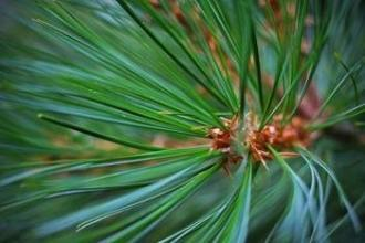 1kg natural Pine needle extract powder