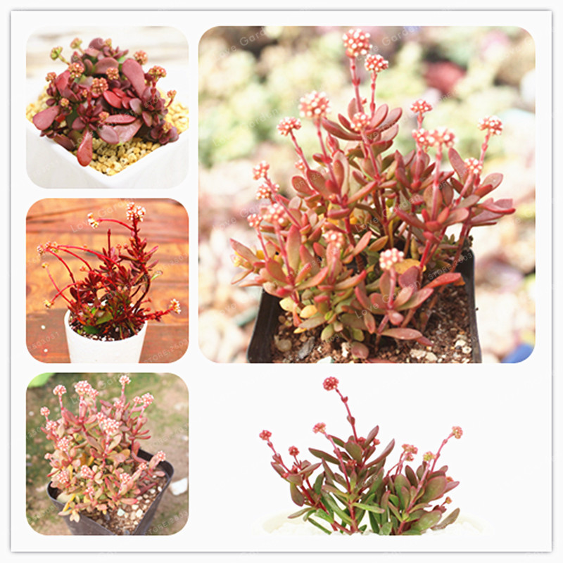 100 Pcs Office Mini Plant Potted Succulent Seeds Absorb Formaldehyde And Other Substances To Purify The Air Easy To Grow