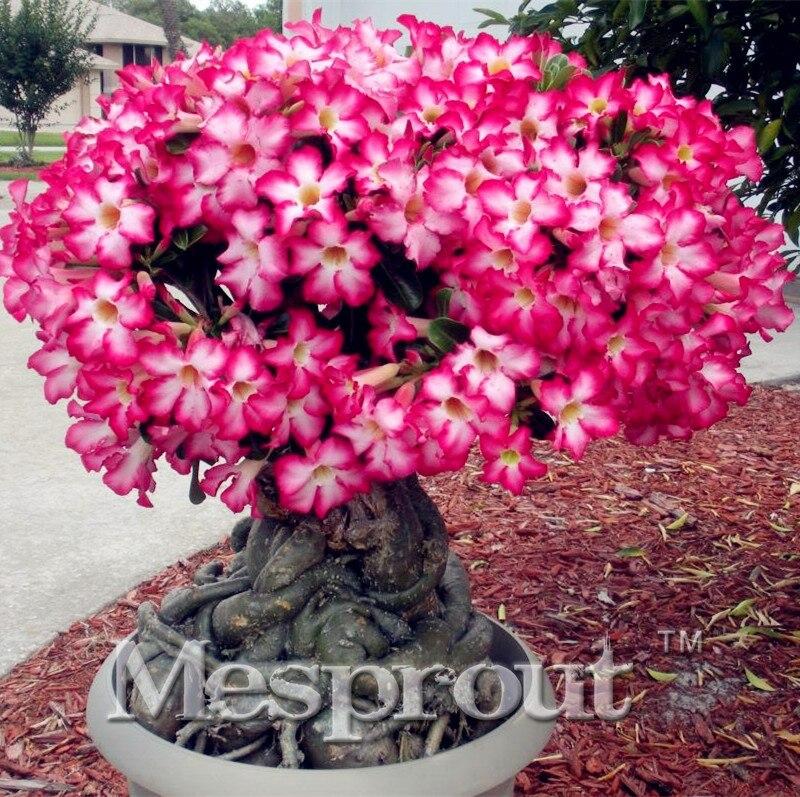 1 pcs Real Adenium obesum Seeds Desert Rose Flower Seeds Home Garden Bonsai Succulent Plants Sprouting 99% Mix Colors Order