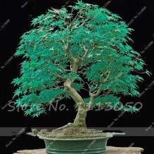 American Blue Maple Seeds 20 pcs