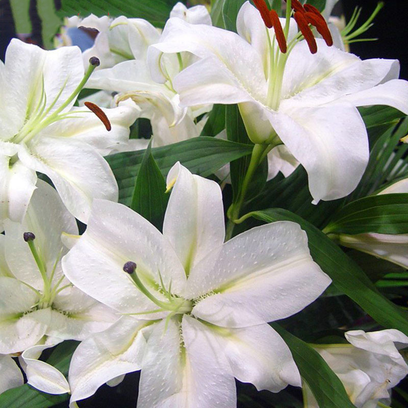 Lily Plants Indoor Bonsai Perfume Lily Seeds White Lily