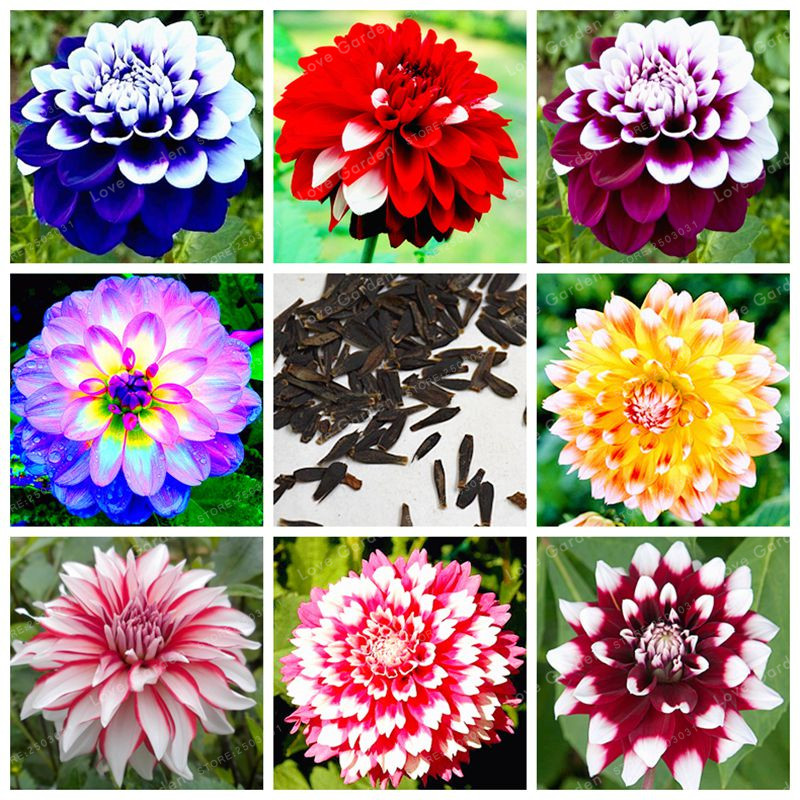 Fashion Style 100pcs Rare Dahlia Plants Beautiful Rainbow Dahlia Garden Flowers High Survival Rate Bonsai Tree Garden Decoration Home & Garden Bonsai