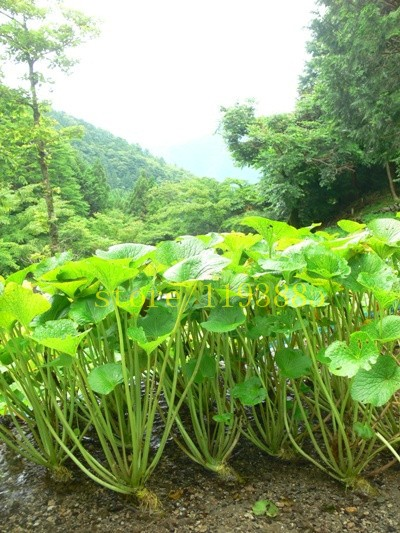 100pcs Real wasabi Japanese horseradish vegetable Fresh seeds Plant