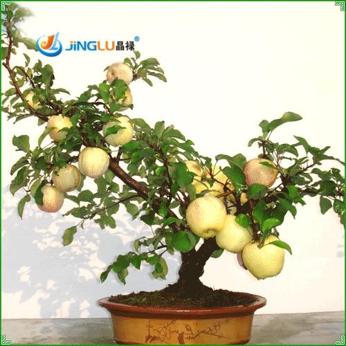 65 Gambar Apel Mandarin