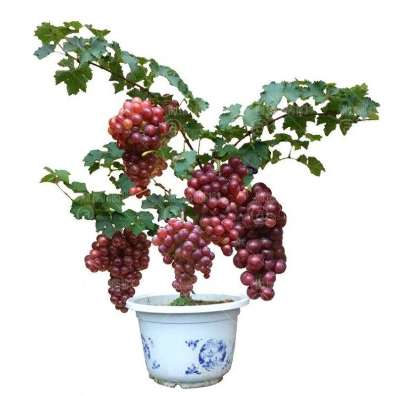 50 шт. карликовые деревья виноград фруктовое дерево Многолетние растения комнатные фрукты комнатные растения вкусные Vitis vinifera для дома сад б...