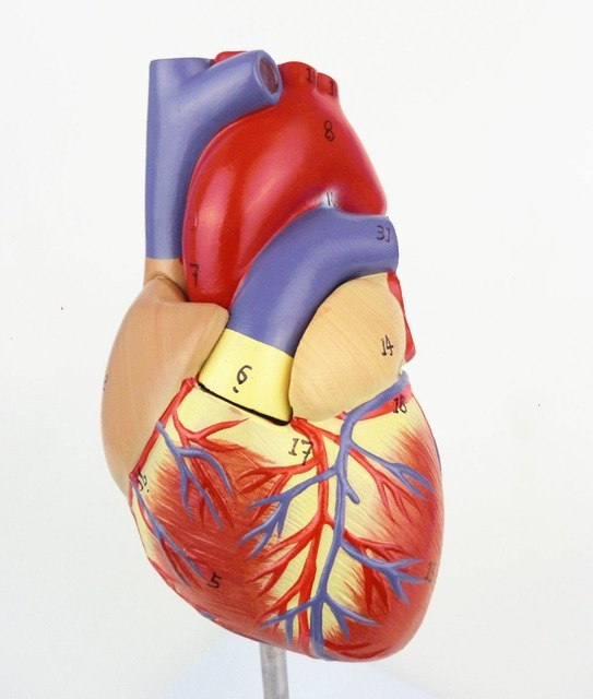 2ec1b0c0843 1:1 Human Anatomical Heart Anatomy Viscera Medical Organ Model Number Mark  Emulational+Stand Medical Science Teaching Resources