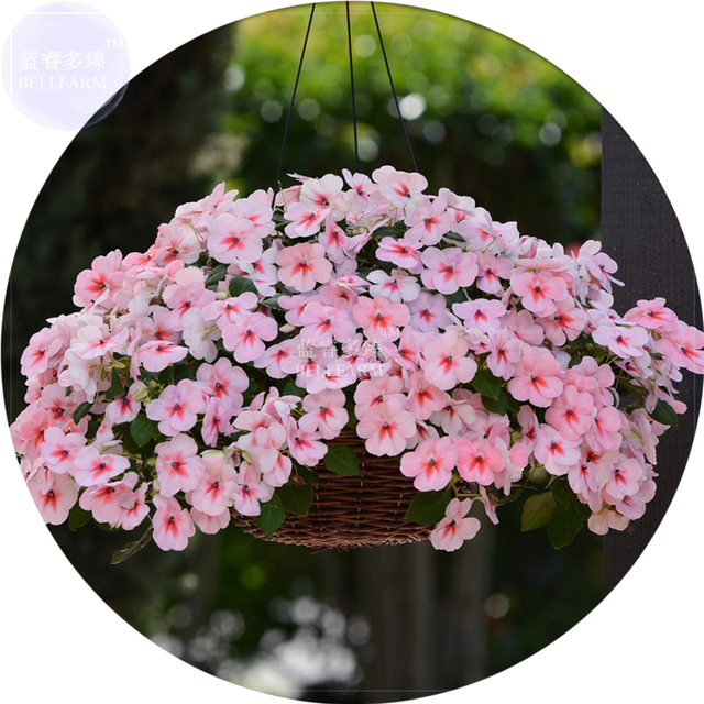 bellfarm bonsai african impatiens walleriana hanging flowers pink