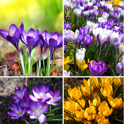 120PCS Hot Sale Many varieties Saffron Seeds Saffron Flower Seeds Saffron Crocus Seeds It Is Not the Saffron Bulbs