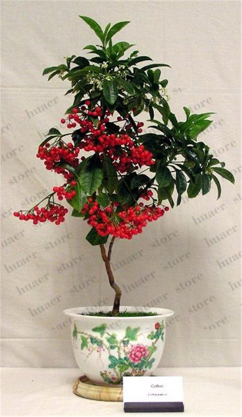 10pcs True Coffee Bean Bonsai Tropical Bonsai Tree Plant Perennial Green Vegetable Fruit Coffee Tree Plant For Home Garden Buy At The Price Of 0 99 In Aliexpress Com Imall Com