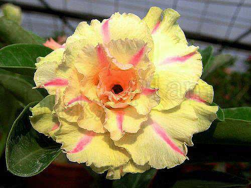 US $5 0 |20 Fresh Seeds Adenium Obesum Desert Rose Bonsai Seeds Succulent  Thailand Lucky Plant no22 CINDERELLA on Aliexpress com | Alibaba Group