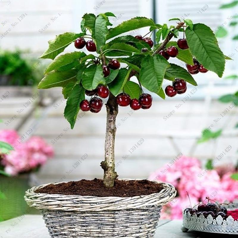 20pcs Cherry Seeds cherry tree Organic fruit seeds Bonsai Tree Seeds,sweet food High germination rare Home Garden Potted Plant