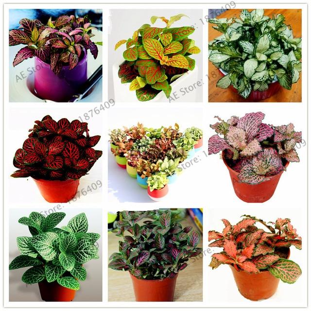 100 unids bolsa fittonia verschaffeltii semillas hermosa interior y al aire libre las plantas - Semillas de interior ...