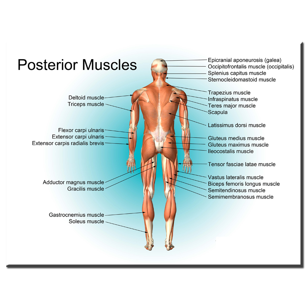 All About The Muscular System Anatomical Chart Poster Print