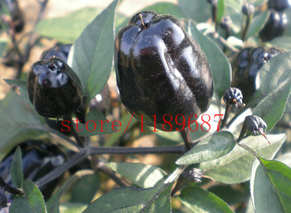 Chili black and purple sweet pepper seeds  for home garden planting