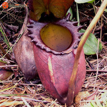 Nepenthes Seeds Flower and Herbs Carnivorous Plants Purify the Air Catch Insect  50 Particles / lot