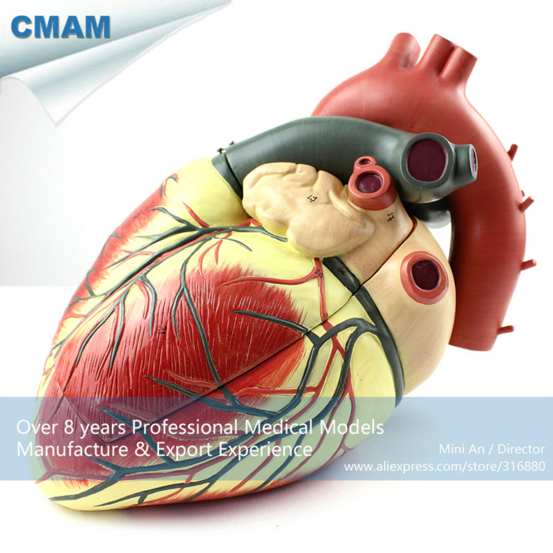 12485 CMAM-HEART09 Oversized Human Heart Anatomical Model, 3-Parts, Anatomy Models > Heart Models cmam viscera01 human anatomy stomach associated of the upper abdomen model in 6 parts