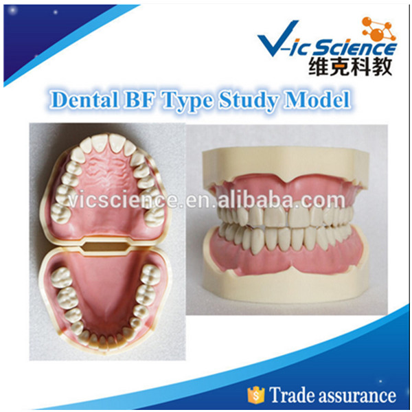 Dental BF Type Teeth Study Model 1 pcs dental standard teeth model teach study