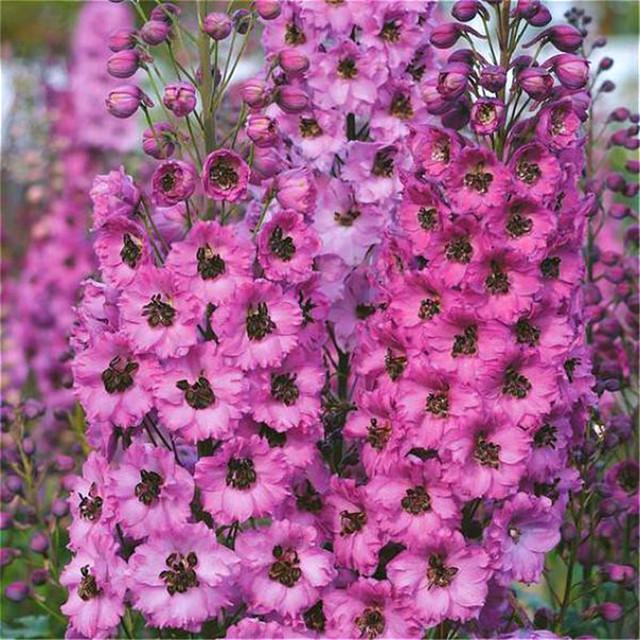 Flower Bonsai 100 Pcs Delphinium Mix Giant Delphinium Cultorum Potted Garden Outdoor Ornamental Planta Sement for Home Decor